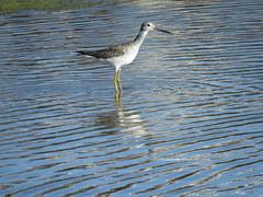 Greater Yellowlegs, Tringa melanoleuca (stonebird) Tags: ballonawetlandsecologicalreserve areab march greateryellowlegs tringamelanoleuca img1127