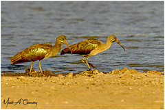 The Golden Ibis! (MAC's Wild Pixels) Tags: thegoldenibis hadedaibis hadadaibis ibis bostrychiahagedash bird birder birdwatcher birdperfect birdlife birdsofeastafrica birdlifephotography beautifulbird colourfulbird avian plumage feathers ornithology animal wildlife africanwildlife wildafrica wildanimal wildbird wildlifephotography safari gamedrive sunset goldenhour goldenlight outdoors outofafrica nature naturephotography athibasindam nairobinationalpark nairobi kenya macswildpixels coth alittlebeauty natureinfocusgroup coth5 ngc