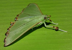 Patchy wing lace moth Parotis suralis Spilomelinae Crambidae Airlie Beach rainforest P1020112 (Steve & Alison1) Tags: patchy wing lace moth parotis suralis spilomelinae crambidae airlie beach rainforest