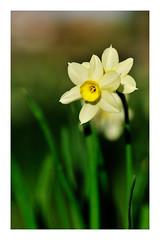 Spring portrait.... (mariolka3) Tags: walkaround closeup blurrybackground grass spring daffodil flowers macro micro nikkor nikon