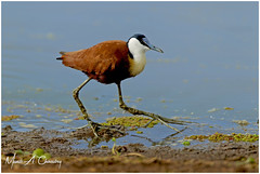 The Beautiful Jacana! (MAC's Wild Pixels) Tags: thebeautifuljacana africanjacana actophilornisafricanus wader bird birder birdlife birdwatcher birdperfect birdsofeastafrica birdlifephotography beautifulbird colourfulbird avian plumage feathers ornithology animal wildlife africanwildlife wildafrica wildanimal wildbird wildlifephotography outdoors outofafrica nature naturephotography sunrise safari gamedrive nnp nairobinationalpark nairobi kenya macswildpixels jacanidae alittlebeauty coth specanimal natureinfocusgroup coth5 ngc