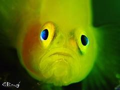 Lubricogobius exiguus Yellow pygmy-goby (esspd) Tags: underwaterphotographer underwaterlife diving scubadiving underwaterpics underwaterphoto uwmacro uwphotography dlagoonlembeh lembeh lembehstrait sulawesi sea salzwasser fins uderwaterphotography unterwasser underwater undersea uwphoto underwatermacro unterwasserfotografie uwfoto scuba ess riff tauchen insel indonesia ocean olympus asia dive korallen closeup nordsulawesi meer macro tiny dlagoon