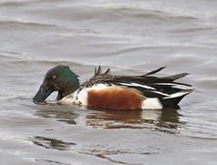 F_032019d (Eric C. Reuter) Tags: birds birding nature wildlife nj forsythe refuge nwr oceanville brigantine march 2019 032019
