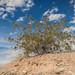 Creosote Bush (Larrea tridenta)