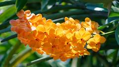 2019-02-11_12-31-19_ILCE-7M2_DSC063211_Kiri_DxO (Miguel Discart (Photos Vrac)) Tags: 2019 240mm chiangmai createdbydxo dxo editedphoto fe24240mmf3563oss fleurs flowers focallength240mm focallengthin35mmformat240mm holiday ilce7m2 iso400 sony sonyilce7m2 sonyilce7m2fe24240mmf3563oss thailand thailande travel vacances voyage
