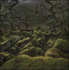 Pan's bosquet (steve-jack) Tags: hasselblad 501cm 80mm cb kodak portra 160 film 120 6x6 medium format tetenal c41 wistmans wood dartmoor oak trees epson v500