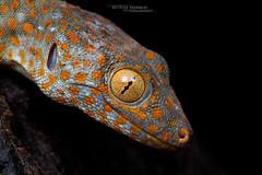 Gekko gecko (Matthieu Berroneau) Tags: reptile reptilian reptilia lézard lagarto lizard gecko gekko gekkogecko tokay tokaygecko rinca florès indonesia indonésie lzard sony a7iiisony a7mk3sony alpha 7 mark 3sony 7iiia7iii7iii7mk3sony ilce7m3 herp herping trip fe 90 f28 g oss fe90f28macrogoss sonya7iii sonya7mk3 sonyalpha7mark3 sonyalpha7iii a7iii 7iii 7mk3 sonyilce7m3 sonyfesonyfe2890macrogoss objectifsony90mmf28macrofe sel90m28g