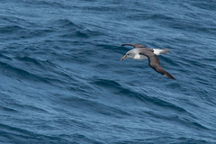 Grey-headed Albatross (Tim Melling) Tags: thalassarche chrysostoma greyheaded albatross southern ocean timmelling