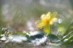 (elesbali) Tags: virág sárga