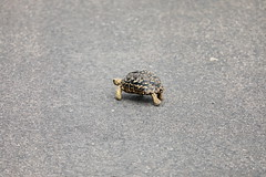 Leopard Tortoise. Cágado Leopardo. Kruger Park. South Africa. Jan/2019 (EKatBoec) Tags: hingback tortoise rock monitor crocodile rainbow skink marsh terrapin leopard flapnecked chameleon blueheaded tree agama