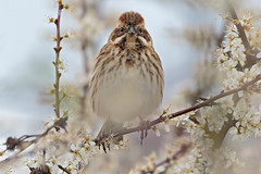 Eye to eye (microwyred) Tags: outside reedbunting blossom animal bird places uptonwarren