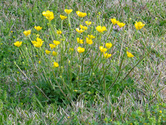 Buttercups. (dccradio) Tags: lumberton nc northcarolina robesoncounty outside outdoor outdoors grass lawn greenery flower floral flowers buttercup buttercups yellowflowers march spring springtime sunday morning sundaymorning goodmorning yard ground nature natural sony cybershot dscw830