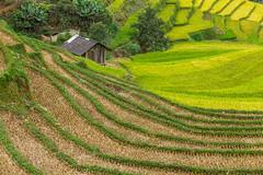 _Y2U2720.0918.Cầu Ba Nhà.Chế Cu Nha.Mù Cang Chải.Yên Bái (hoanglongphoto) Tags: asia asian vietnam northvietnam northwestvietnam northernvietnam landscape scenery vietnamlandscape vietnamscenery mucangchailandscape terraces terracedfields seasonharvest house home hillside curve abstract canon canoneos1dx tâybắc yênbái mùcangchải chếcunha cầubanhà phongcảnh ruộngbậcthang ruộngbậcthangmùcangchải mùcangchảimùagặt mùcangchảimùalúachín ngôinhà nhà sườnđồi đườngcong trừutượng canonef70200mmf28lisiiusm