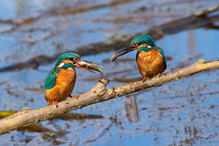 Kingfishers (Steve Moore-Vale) Tags: kingfisher alcedo atthis alcedoatthis lackfordlakes suffolk nature birds bird animals wildlife fish food uk england