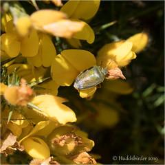 Gorse Shieldbug (Huddsbirder) Tags: huddsbirder gorse shieldbug oldmoor fe70300mm sony a6500