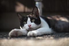 猫 (fumi*23) Tags: ilce7rm3 sony street a7r3 animal alley manualfocus 58mm voigtlander nokton cosina katze gato cat chat neko voigtländernokton58mmf14slⅱ feline ねこ 猫 ソニー コシナ ノクトン