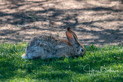 Wild Rabbit seen in Explore (Jeffrey Balfus (thx for 5,000,000 views)) Tags: sonya7iii ilce7m3 fe24240mmf3563oss sel24240 ventanacyn tucson golf explore thegalaxy bunny rabbit