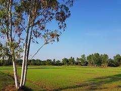 New Rice Planting 4 (SierraSunrise) Tags: thailand phonphisai nongkhai isaan esarn rice ricepaddies paddyrice ricepaddy farming agriculture grain poaceae tree euclyptus myrtaceae