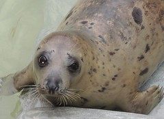 Sad Eyes (Kevin Pendragon) Tags: seal pup rescued cornwallsealsanctuary cornwall autumn mammal water whiskers brown tan black naturephotography nature
