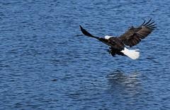 time to eat (David Sebben) Tags: bald eagle meal nature raptor bird mississippi river fish wingspan talons