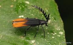 Net-winged beetle, Lycidae (Ecuador Megadiverso) Tags: andreaskay beetle coleoptera ecuador lycidae netwingedbeetle wildsumaco