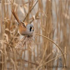 Bearded Tit (Huddsbirder) Tags: huddsbirder beardedtit staidans rspb fe70300mm sony a6500