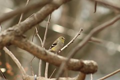 A goldfinch is a person in my neighborhood (RonTheG) Tags: goldfinch