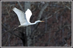 Grande aigrette 190211-01-P (paul.vetter) Tags: oiseau ornithologie ornithology faune animal bird échassier grandeaigrette aigrette ardeaalba greategret silberreiher casmerodiusalbus garçabrancagrande