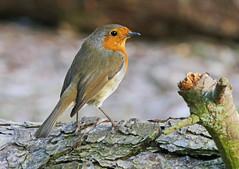 Photo of Robin