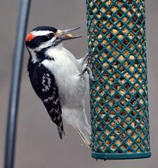 Hairy woodpecker (carpingdiem) Tags: hairywoodpecker indianapolis winter birds feeder
