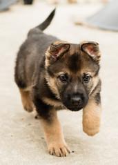2019-03-02, Mel x Dezi Green Male-3 (Falon167) Tags: gsd germanshepherddog german shepherd dog puppy mel dezi melxdezi litter bessie puppies