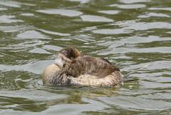 Ruddy Duck, Female (aviac) Tags: birds bird californiabirds california morrobay morrobaystatepark stateparkmarina marina sanluisobispocounty nature sanluisobispobirds morrobayestuary estuary