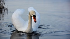Elegance (moniquerebanks) Tags: swan zwaan bird elegance lake lakedistrict worldheritage ullswater merengebied waterdroplets waterbird closeup nature natuur nikond7100 cygnet