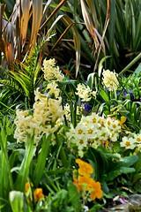 P1150401 (harryboschlondon) Tags: plantstreesandflowers naturephotography nature botanical botanicalphotography england englandphotography flowers flowersphotography harrybosch harryboschflickr harryboschphotography harryboschlondon march2019 march 2019 18thmarch2019 forbury yellow
