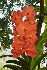 Vanda sp. Orchidaceae- orange Vanda orchid17 (SierraSunrise) Tags: thailand phonphisai nongkhai isaan esarn plants flowers orange epiphytes orchidaceae orchids vannda hanging