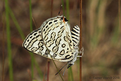 IMG_0568 Cigaritis nilus (Raiwen) Tags: apharitis apharitisnilus guinea westafrica africa moyenneguinée butterfly lycaenidae theclinae lepidoptera cigaritis cigaritisnilus
