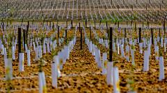 Lineas (ameliapardo) Tags: lineas campo efectopattern plantaciones fujixt2 sevilla andalucía españa airelibre naturaleza agricultura