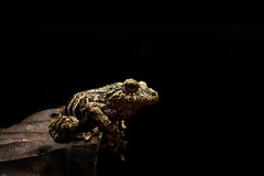 Tree Frog On Leaf Lower (worm600) Tags: ecuador animal sumaco wildsumaco frog treefrog