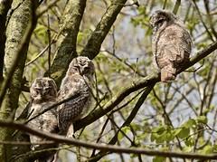 Three young owls (GeorgeMentink) Tags: young strixaluco strigidae waldkauz uil bosuil tawnyowl owl