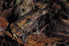 megophrys kobayashii (methosphang) Tags: megophrys kobayashii megophryskobayashii frog kobayashishornedfrog megophryidae amphibian anura borneo sabah kinabalu
