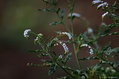 Wild flowers (leendert3) Tags: leonmolenaar southafrica krugernationalpark nature flora wildflowers ngc npc