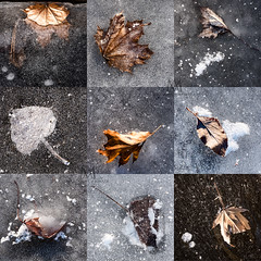 cryogenic leaves 2019 (marianna armata) Tags: frozen leaf leaves inice winter cold 9 square montreal macro mariannaarmata