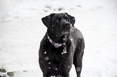 Fun In The Snow (aaron_gould) Tags: dog labrador mix rescue happy snow black ohio frozen animals nikkor winter outside nikon canine lab d7000 pets
