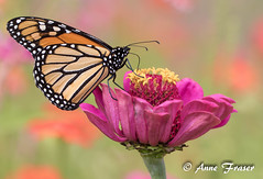 Monarch Butterfly (Anne Marie Fraser) Tags: monarchbutterfly monarch butterfly garden nature insect zinnia beautiful summer summertime