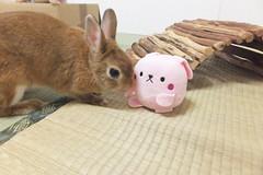 Ichigo san 1499 (Errai 21) Tags: いちごさん ichigo san   ichigo rabbit bunny cute netherlanddwarf pet ウサギ うさぎ いちご ネザーランドドワーフ ペット 小動物 1499