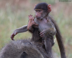 The Jockey (leendert3) Tags: leonmolenaar southafrica krugernationalpark wildlife nature mammals chacmababoon ngc npc coth5
