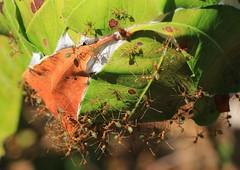 Green Ants nest -Oecophylla smaragdina- Lizard Island-171018 (3) (Ann Collier Wildlife & General Photographer) Tags: greenantsnest oecophyllasmaragdina lizardisland australia insects nest greenants queensland trees weaverant macro hymenoptera