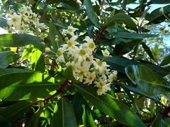 20130529_Bantry-IE_DrimysWinteri_Cutler_P1480062 (wlcutler) Tags: winteraceae drimys drimyswinteri