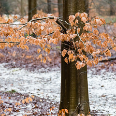 Beech leaves in Snow (Rachel Dunsdon) Tags: 2019 hampshire forest blackwoodforest snow trees beech