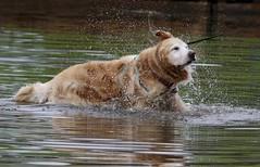 Shaking It Off (Diane Marshman) Tags: golden retriever large dog breed water lake goldstock wet pa pennsylvania nature action motion movement shaking waterdrops splash drops 2018 event